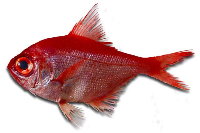 Virrey (Beryx dedactylus) pescado fresco del dia pesca artesanal de Galicia Rias Baixas producto de proximidad a domicilio