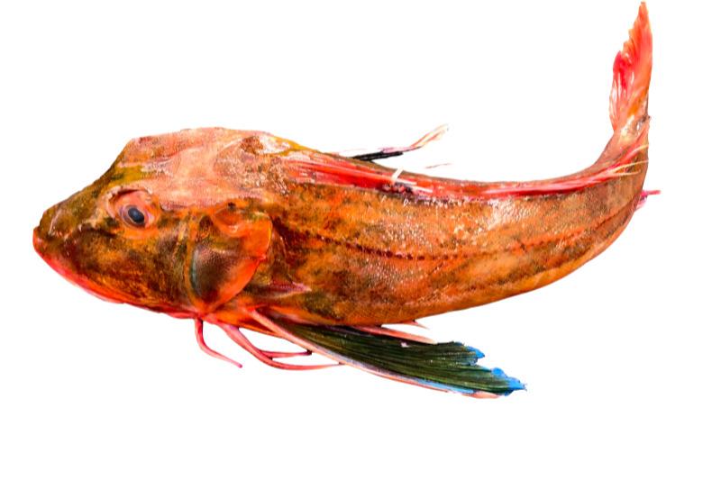 Escacho o perlon (Chelidonichthys lucerna) pescado fresco local de barcos del dia pesca artesanal Galicia Rias Baixas producto de proximidad a domicilio